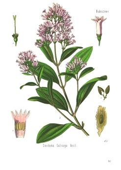 """Cinchona_calisaya_-_Köhlerâ€""""s_Medizinal-Pflanzen-179.jpg"""