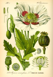 Illustration_Papaver_somniferum0.jpg