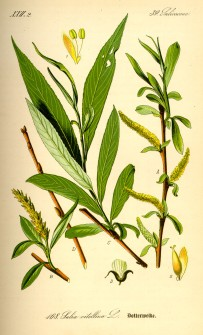 Illustration_Salix_alba0